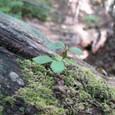 朽木からは新たな命
